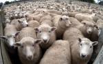 sheep-lamb_2170927b